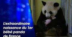 Documentaires : L'extraordinaire naissance du 1er bébé panda de France du 5 septembre 2018 – Replay TMC